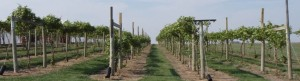 Frontenac grapevines trained to a high-wire cordon,