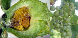 phylloxera and anthracnose